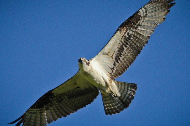 Osprey, Green Lake 6-3-2013-9876