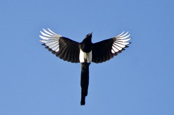 Black-billed-Magpie-Flying-blog