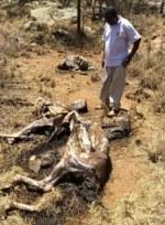 dead-donkeys