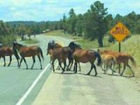 Members of the wild herd rounded up last year were photographed crossing at their designated point on the highway leading into Alto and Ruidoso.(Photo: Courtesy/Melissa Babcock)