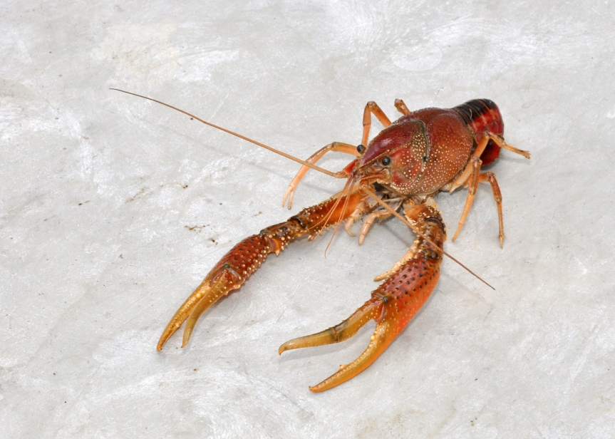 Ozark Encyclopedia – C – Crawdads