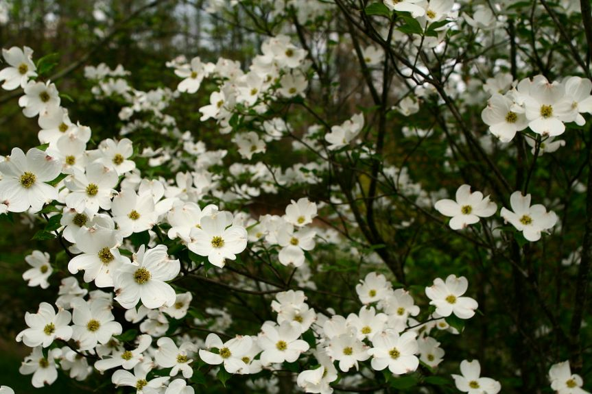 Ozark Encyclopedia – D – Dogwood