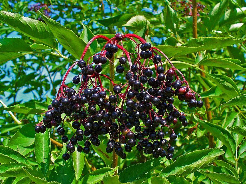 Ozark Encyclopedia – E –Elderberry