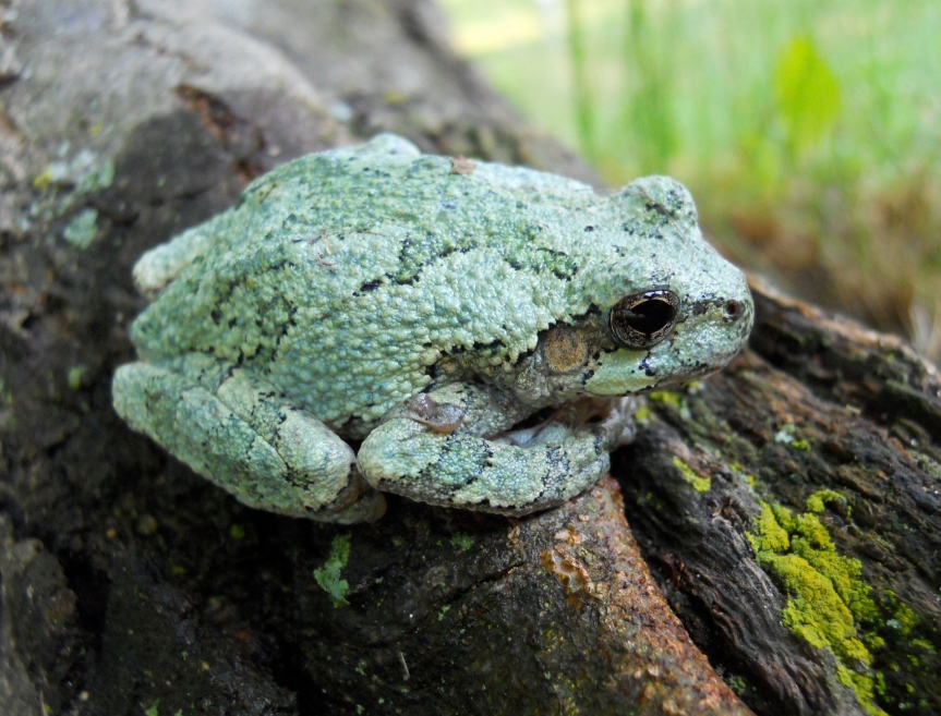 Ozark Encyclopedia – F – Frogs andToads