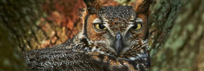 Nesting Horned Owl