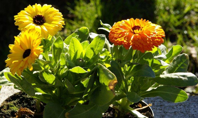 Welcome October: Calendula, OctoberBirth~flower