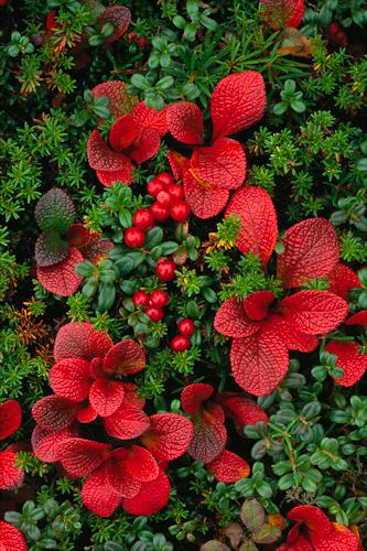Medicinal Herb: Bearberry
