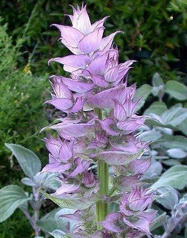 Medicinal Herbs: ClarySage