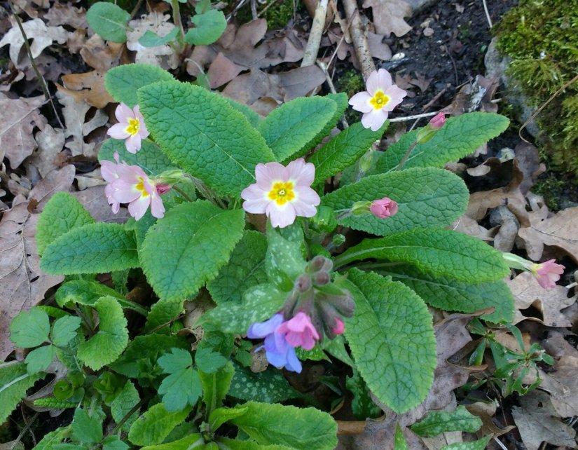 Medicinal Herb: Lungwort