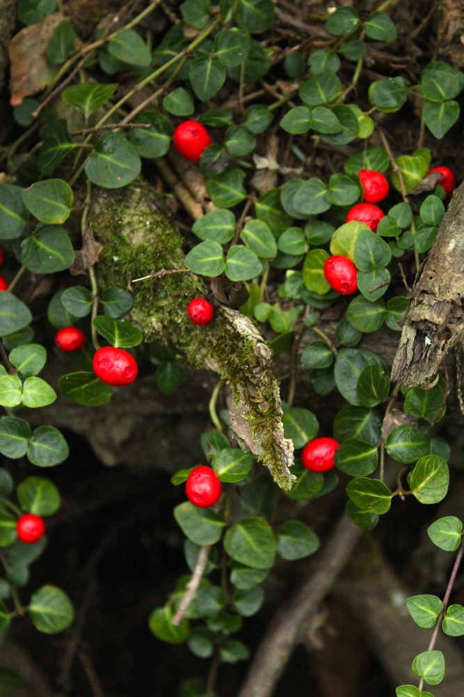 Medicinal Herb: Partridgeberry