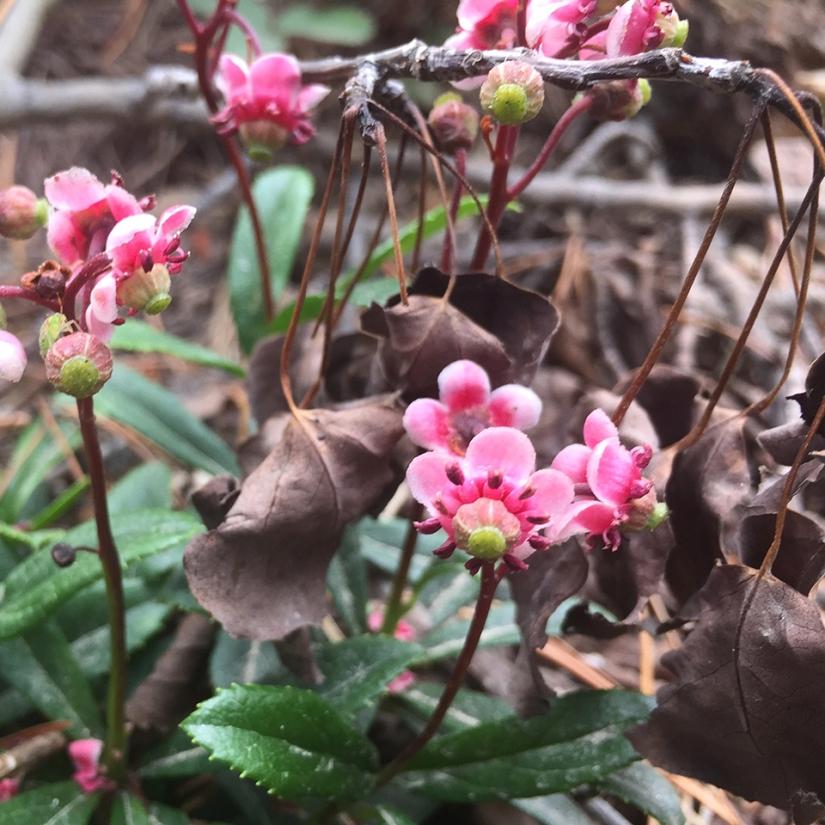 Medicinal Herb: Pipsissewa