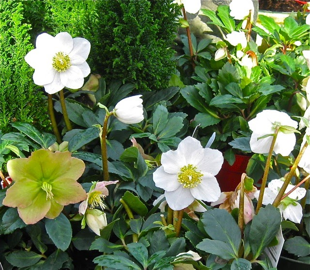 Lore of the Christmas Rose