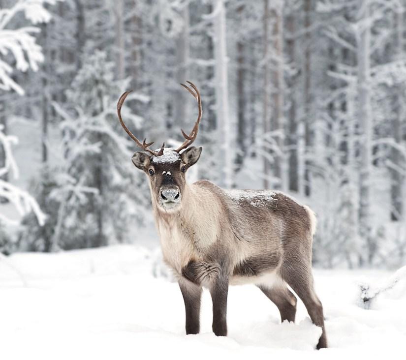Doe, A Deer, A Female Reindeer: The Spirit of MotherChristmas