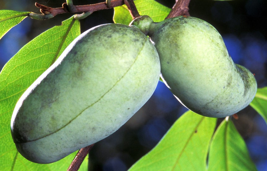 Ozark Encyclopedia – P – Pawpaw