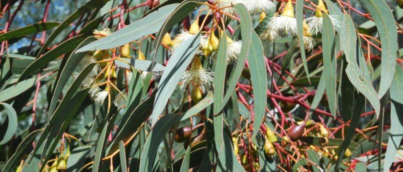 Plant Profile: Eucalyptus {Eucalyptusglobulus}
