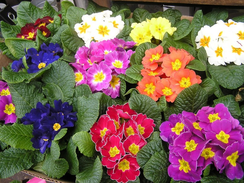Primrose: The Flower of February