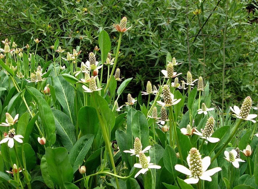 Plant Profile: YerbaMansa