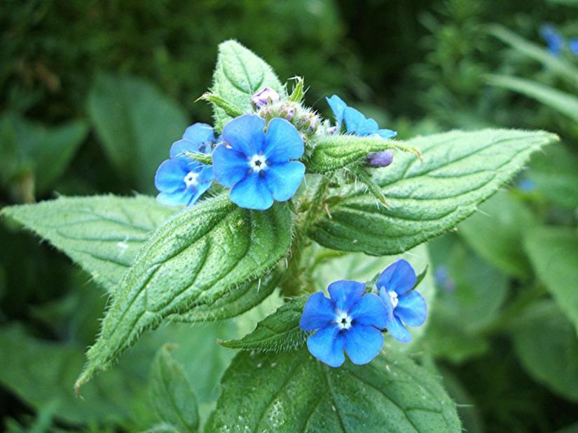Plant Profile: Alkanet {Anchusaofficinalis}