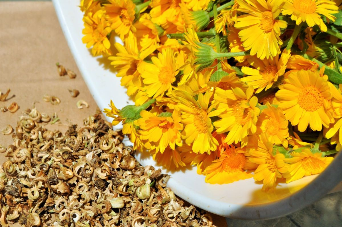 Calendula - A Golden Herb for Garden and Kitchen