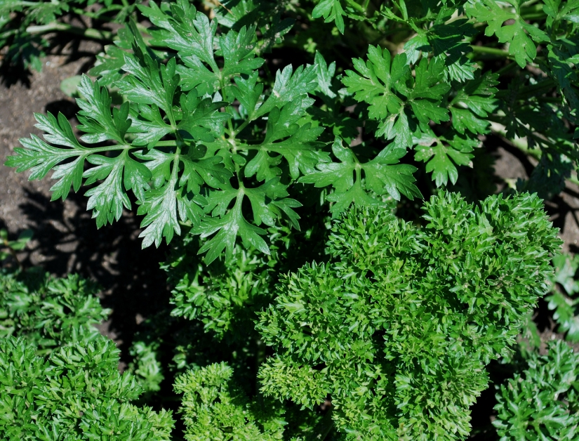 Our 'Go To' Herb:Parsley