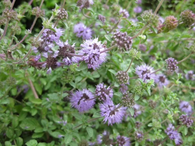 Plant Profile: Pennyroyal