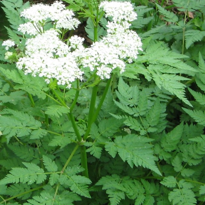Sweet-Cicely