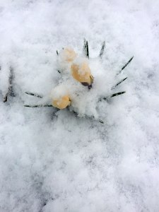 Mid-March - Crocus in the Snow