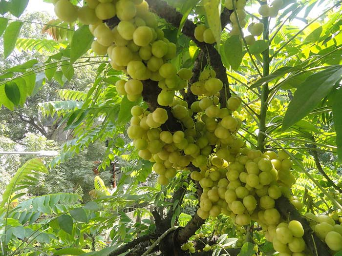 Sacred Tree of India: Amla {Phyllanthus emblica}