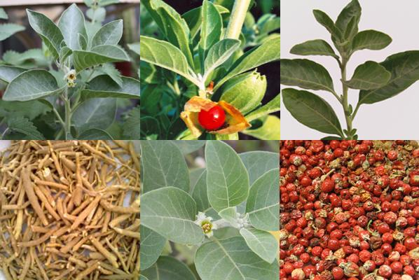 Ashwagandha Root Extract Improves Symptoms of Obsessive-Compulsive Disorder in Patients Taking Selective Serotonin Re-uptakeInhibitors