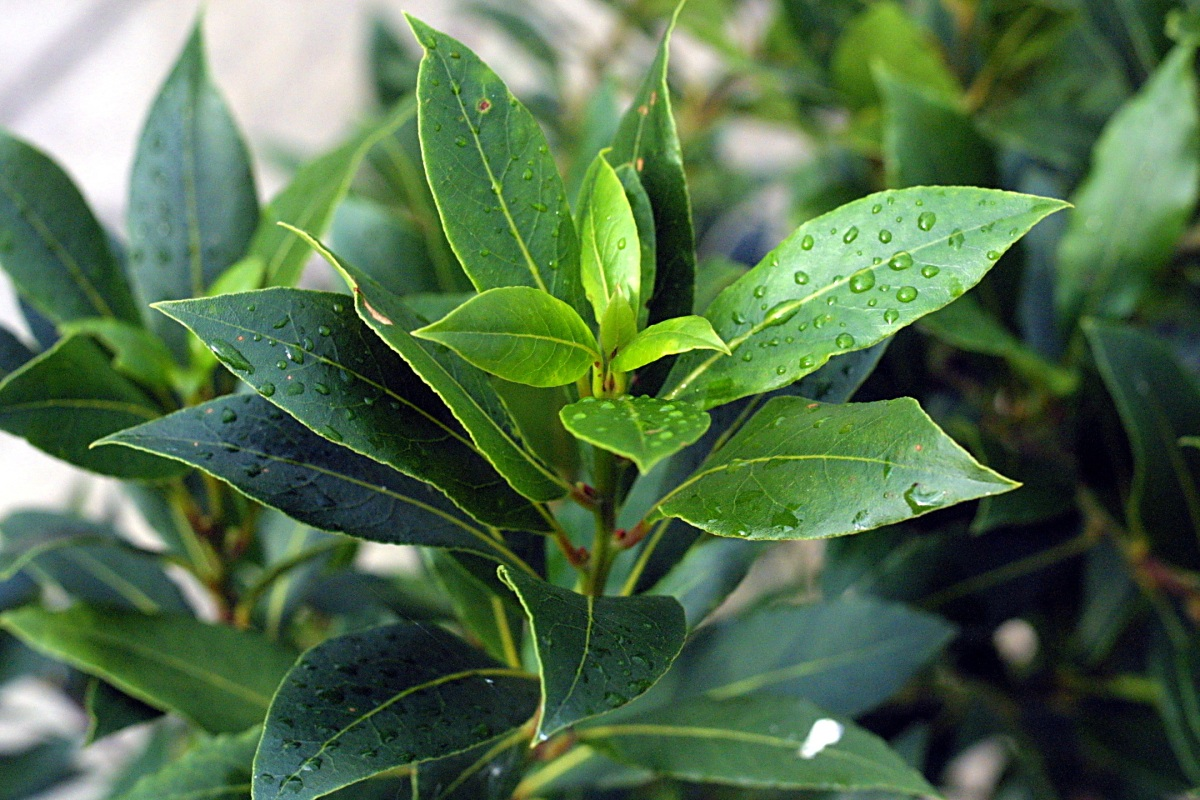 Herb Guide: Bay Laurel