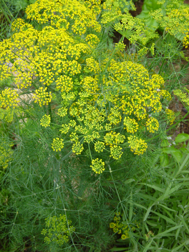 Aromatic Culinary Herb Called theDill