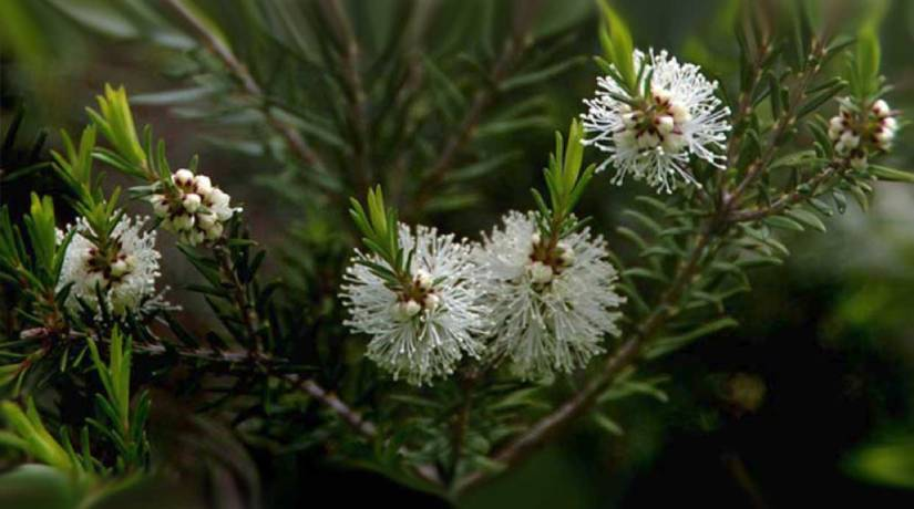 Medicinal Value of Tea Tree {Melaleuca alternifolia}