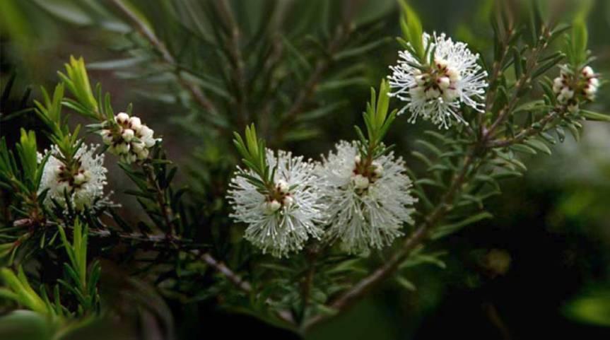 Medicinal Value of Tea Tree {Melaleucaalternifolia}