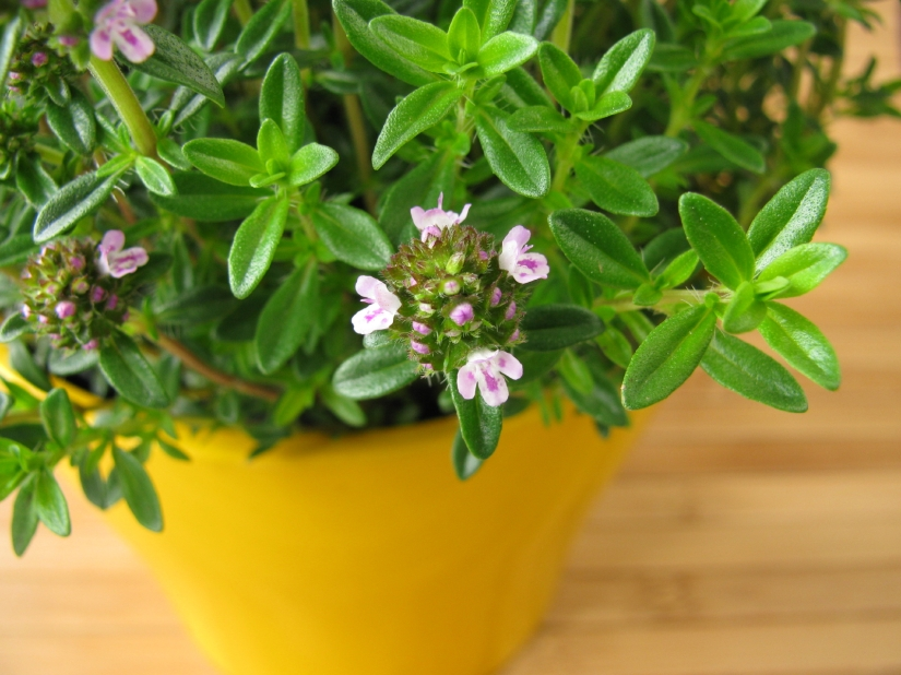 Aromatic Culinary Herb Called theSavory