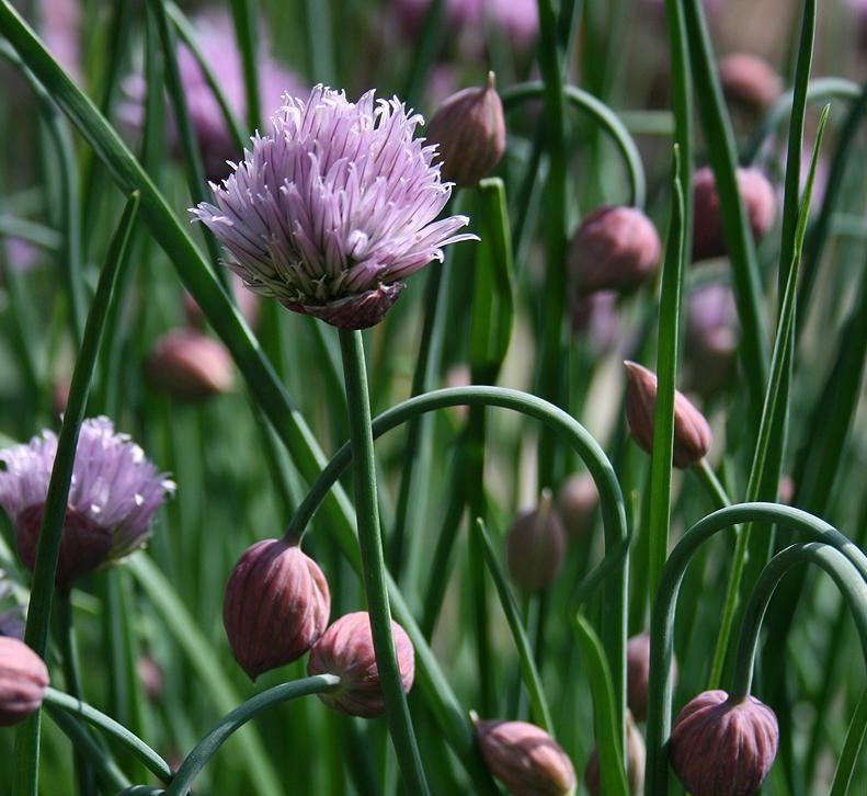 Pantry Profile: Chives {Allium schoenoprasum}