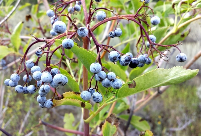 elderberries-af-canyon-3-2013-09-05
