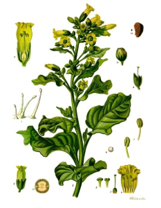 Nicotiana Rustica Botanical Drawing