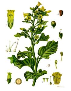 Nicotiana Rustica Botanical Drawing