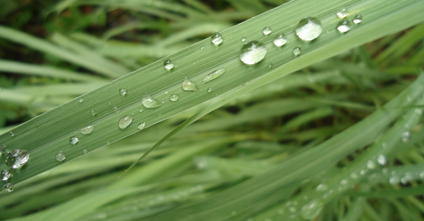 Food as Medicine: West Indian Lemongrass (Cymbopogon citratus,Poaceae)