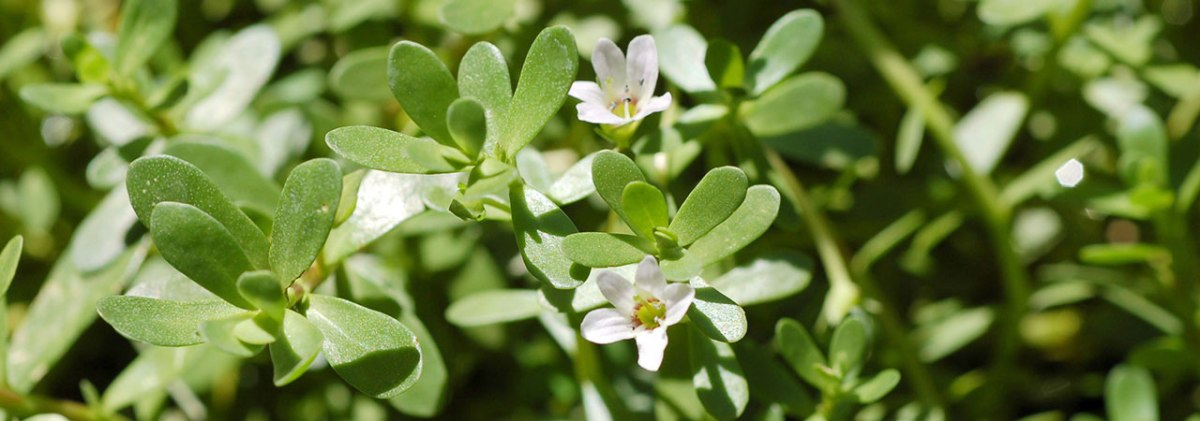 BACOPA MONNIERA: Brain Health and Nervous System Restorer