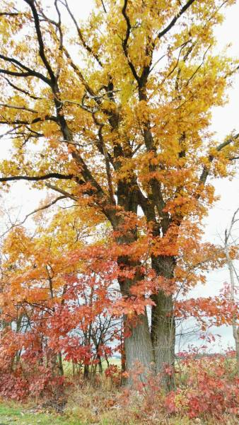 A glorious oak tree in fall colors!
