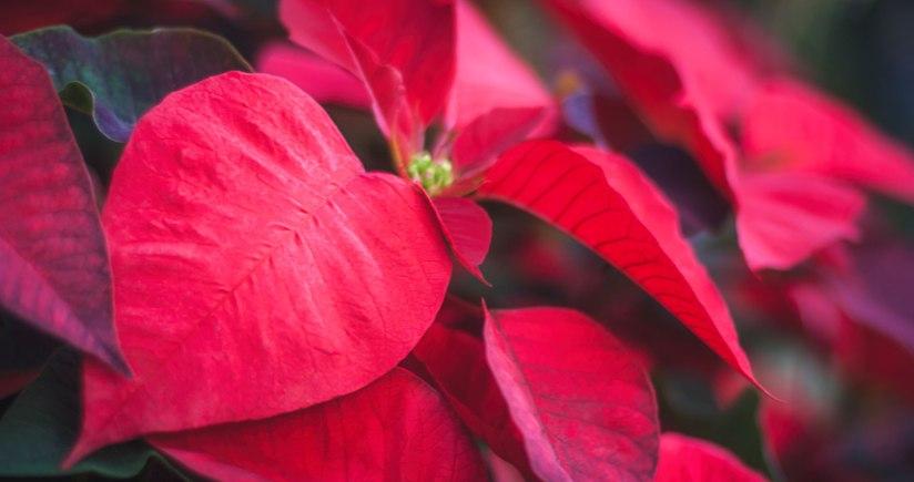 12 Popular ChristmasPlants
