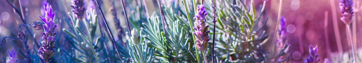 Lavender and Aromatherapy