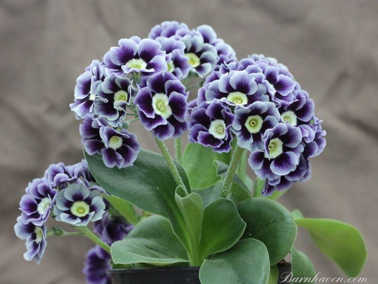 Primrose; The Flower ofFebruary