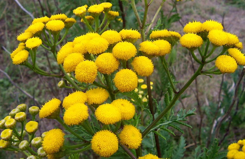 Aromatic Herb for February; Tansy
