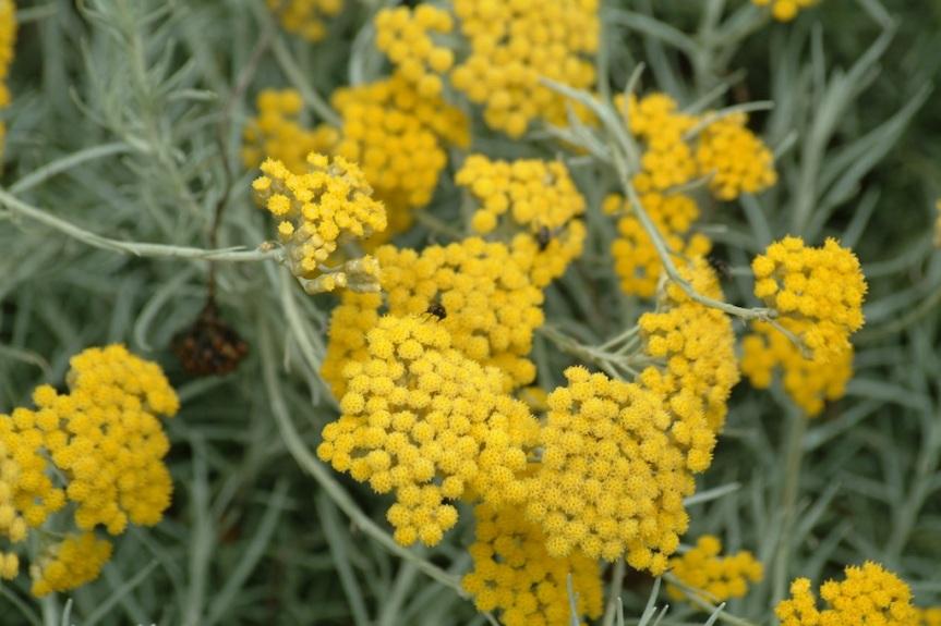 The Sleeping Giant of Mediterranean Herbal Medicine: Helichrysumitalicum