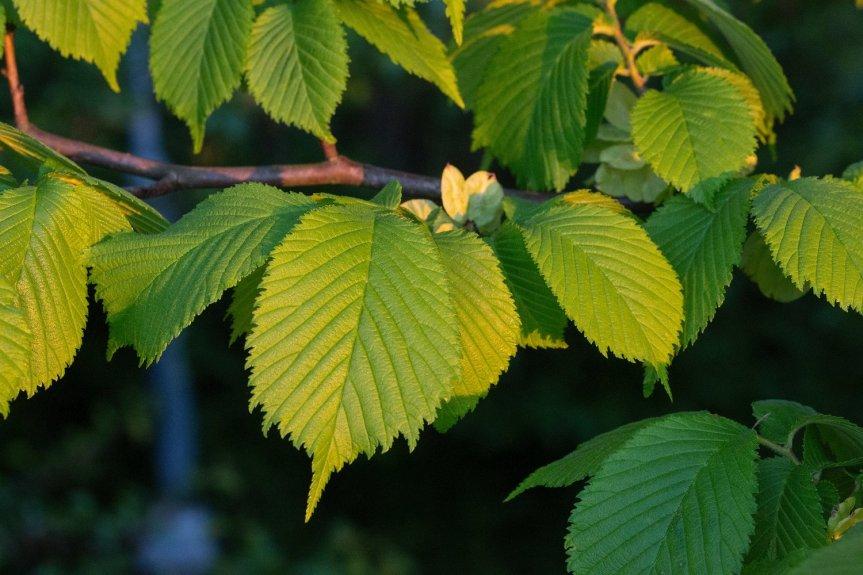 Wychwood: The Earthen Healing of the Elm —Wildling