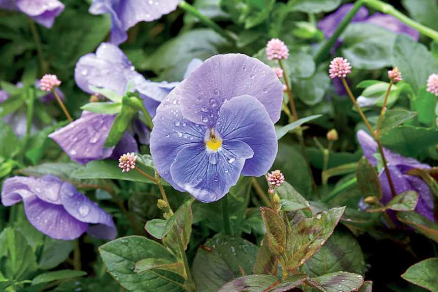 Medicinal and Culinary Uses for the ShyViolet