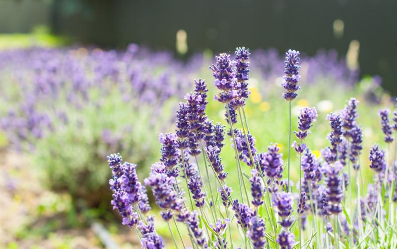 May 2019 Newsletter, The Oregon Lavender Association invites you to enjoy lavender all yearround!