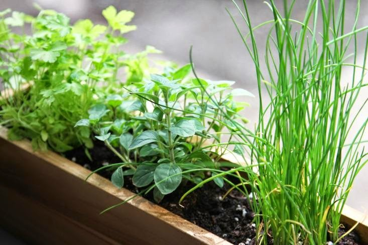 Herbs for YourWindowsill